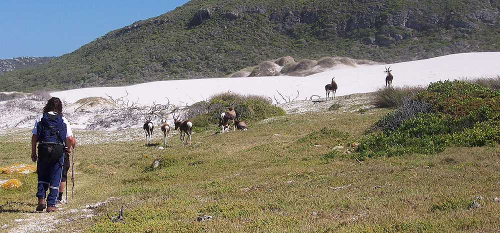 Wildlife, such as these bontebok, are a common sight on the Cape Point trails. Photograph by Flickr user Ralph Pina.