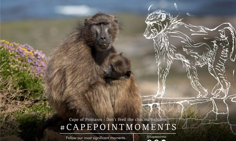 Cape of Primates - Cape Point's chacma baboons