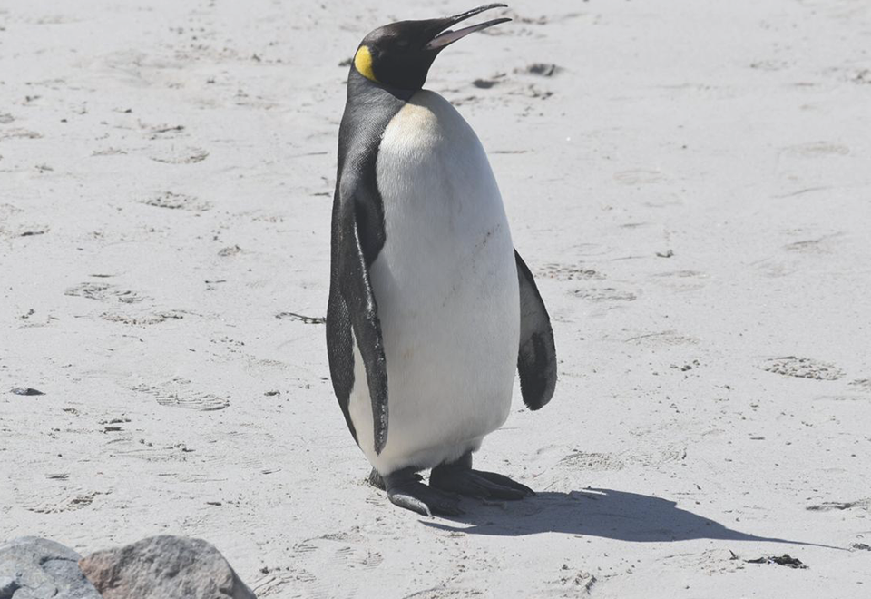 King Penguin waddles its way onto Buffels Bay Beach, Cape Point
