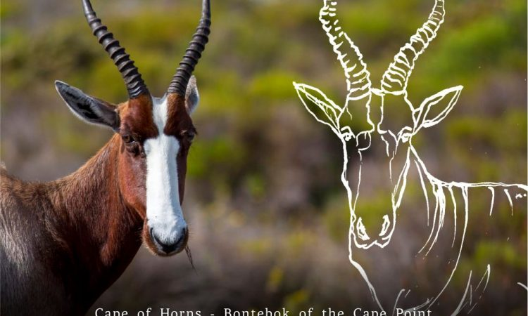 Cape of Horns: Bontebok of Cape Point