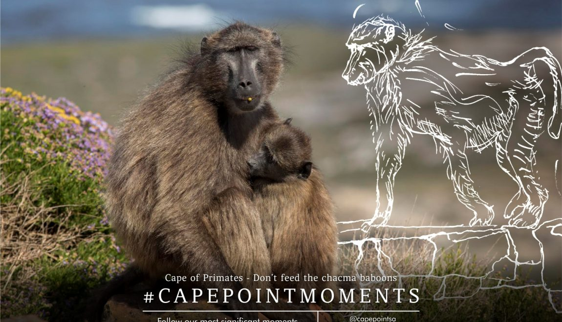 Cape of Primates – Cape Point's chacma baboons